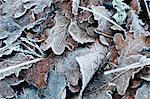 Close-up of a frozen leaves in winter Stock Photo - Premium Royalty-Free, Artist: Robert Harding Images, Code: 698-06374710