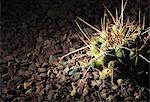 Close-up of a spiked cactus in gravel Stock Photo - Premium Royalty-Free, Artist: Blend Images, Code: 698-06374768