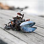 Shell and dried leaves on wood Stock Photo - Premium Royalty-Free, Artist: Blend Images, Code: 698-06374854