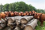 Large group of cows in front of logs Stock Photo - Premium Royalty-Free, Artist: Robert Harding Images, Code: 698-06374869