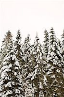 snow covered trees - Coniferous trees covered in snow against clear sky Stock Photo - Premium Royalty-Freenull, Code: 698-06375085