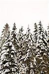 Coniferous trees covered in snow against clear sky Stock Photo - Premium Royalty-Free, Artist: Peter Christopher, Code: 698-06375085