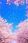 Cherry Blossom (CG) Stock Photo - Premium Rights-Managed, Artist: Aflo Relax, Code: 859-06380104