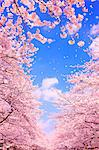 Cherry Blossom (CG) Stock Photo - Premium Rights-Managed, Artist: Aflo Relax, Code: 859-06380107