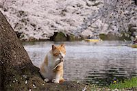 Cat, Aomori Prefecture, Japan Stock Photo - Premium Rights-Managednull, Code: 859-06380157