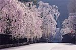Weeping Cherry Blossoms, Samurai Residences, Akita Prefecture, Japan Stock Photo - Premium Rights-Managed, Artist: Aflo Relax, Code: 859-06380161