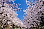Sakura, Ueno Park, Tokyo, Japan Stock Photo - Premium Rights-Managed, Artist: Aflo Relax, Code: 859-06380176