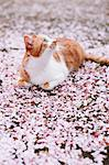 Cat And Cherry Blossom Stock Photo - Premium Rights-Managed, Artist: Aflo Relax, Code: 859-06380237