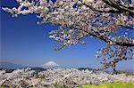 Cherry Blossoms And Mount Fuji Stock Photo - Premium Rights-Managed, Artist: Aflo Relax, Code: 859-06380251
