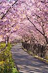 Tunnel Of Cherry Blossoms, Kawazu, Shizuoka Prefecture, Japan Stock Photo - Premium Rights-Managed, Artist: Aflo Relax, Code: 859-06380257