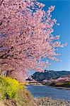 Kawazu Cherry Tree In Full Bloom And Kawazugawa Stock Photo - Premium Rights-Managed, Artist: Aflo Relax, Code: 859-06380260