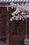 Cherry Blossoms And Temple Stock Photo - Premium Rights-Managed, Artist: Aflo Relax, Code: 859-06380350