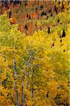 Aspen Trees in Autumn, Colorado, USA Stock Photo - Premium Royalty-Free, Artist: Ed Gifford, Code: 600-06383699
