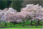 Cherry Trees, Stanley Park, Vancouver, British Columbia, Canada Stock Photo - Premium Royalty-Free, Artist: J. A. Kraulis, Code: 600-06383881