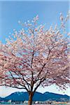 Cherry Tree in Bloom, Stanley Park, Vancouver, British Columbia, Canada Stock Photo - Premium Rights-Managed, Artist: J. A. Kraulis, Code: 700-06383898