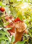 Summer vegetable garden concept with gardener harvesting ripe tomatoes. Stock Photo - Royalty-Free, Artist: mythja                        , Code: 400-06384379