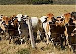 Australian brahma beef cattle line along a barbed wire fence, red cows grey cow Stock Photo - Royalty-Free, Artist: sherjaca                      , Code: 400-06388855
