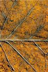 Closeup of autumn colored leaf fragment textures and details. Stock Photo - Royalty-Free, Artist: sauletas                      , Code: 400-06390409