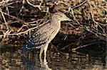 black crowned night heron (Nycticorax nycticorax) in Danube Delta, Romania Stock Photo - Royalty-Free, Artist: porojnicu                     , Code: 400-06390678