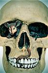 closeup of a fake skull with a mouse inside for Halloween Stock Photo - Royalty-Free, Artist: nito                          , Code: 400-06391421