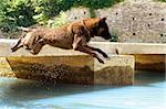 picture of a purebred belgian sheepdog malinois who jumping in the river Stock Photo - Royalty-Free, Artist: cynoclub                      , Code: 400-06393309