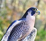 Peregrine Falcon , close up Stock Photo - Royalty-Free, Artist: svetlanna                     , Code: 400-06393571