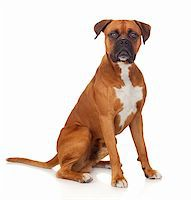 Beautiful Boxer dog isolated on white background Stock Photo - Royalty-Freenull, Code: 400-06395646