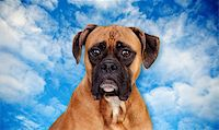 Boxer breed dog over sky and clouds background Stock Photo - Royalty-Freenull, Code: 400-06395648