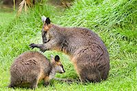 Swamp wallabies in high grass on rainy day in summer Stock Photo - Royalty-Freenull, Code: 400-06396281