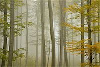fog (weather) - Beech Forest in Morning Mist in Autumn, Spessart, Bavaria, Germany Stock Photo - Premium Royalty-Freenull, Code: 600-06397428