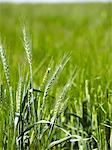 Close up of barley stalks in field Stock Photo - Premium Royalty-Free, Artist: Raimund Linke, Code: 649-06400466
