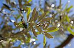Close up of olive branch Stock Photo - Premium Royalty-Free, Artist: Blend Images, Code: 649-06400751