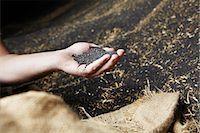 Hand scooping harvested grain Stock Photo - Premium Royalty-Freenull, Code: 649-06401247