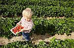 Boy picking strawberries in field Stock Photo - Premium Royalty-Free, Artist: Blend Images, Code: 649-06401293