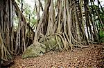 Banyan trees in a forest Stock Photo - Premium Royalty-Free, Artist: AlaskaStock, Code: 6106-06402288