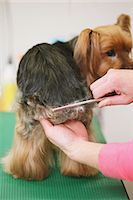 professional (pertains to traditional blue collar careers) - Yorkshire terrier getting groomed Stock Photo - Premium Rights-Managednull, Code: 859-06404999