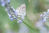 Lycaenidae butterfly on lavender flowers Stock Photo - Premium Royalty-Freenull, Code: 633-06406751