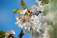 Butterfly on cherry blossom Stock Photo - Premium Royalty-Freenull, Code: 633-06406799