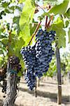 Grape Vine at Vineyard, Saint Emilion, Bordeaux Region, Gironde, Aquitaine, France Stock Photo - Premium Royalty-Free, Artist: photo division, Code: 600-06407701
