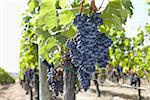 Grape Vine at Vineyard, Saint Emilion, Bordeaux Region, Gironde, Aquitaine, France Stock Photo - Premium Royalty-Free, Artist: photo division, Code: 600-06407702