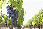 Grape Vine at Vineyard, Saint Emilion, Bordeaux Region, Gironde, Aquitaine, France Stock Photo - Premium Royalty-Free, Artist: photo division, Code: 600-06407703