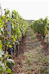 Vineyard, Saint Emilion, Bordeaux Region, Gironde, Aquitaine, France