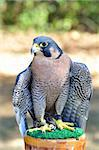Peregrine Falcon for sports hunting Stock Photo - Royalty-Free, Artist: svetlanna                     , Code: 400-06417835