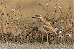 Eurasian Stone curlew in the Danube Delta, Romania Stock Photo - Royalty-Free, Artist: porojnicu                     , Code: 400-06419514