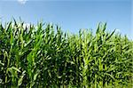 Plantation of Fodder Corn in Southern Bavaria, Germany Stock Photo - Royalty-Free, Artist: gkuna                         , Code: 400-06422190