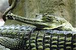 crocodile head as detail of very dangerous animal Stock Photo - Royalty-Free, Artist: jonnysek                      , Code: 400-06424283