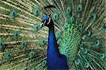detail of peacock as very nice color background Stock Photo - Royalty-Free, Artist: jonnysek                      , Code: 400-06424285