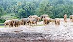Group of Asian elephants in the rain, Sri Lanka Stock Photo - Royalty-Free, Artist: nazzu                         , Code: 400-06424636