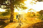 Single cow walking by in sunset Stock Photo - Royalty-Free, Artist: szefei                        , Code: 400-06425528