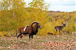 big mouflon male and a herd of fallow deers in a hunting enclosure Stock Photo - Royalty-Free, Artist: taviphoto                     , Code: 400-06430186